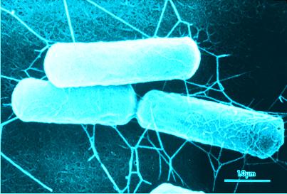 セレウス菌