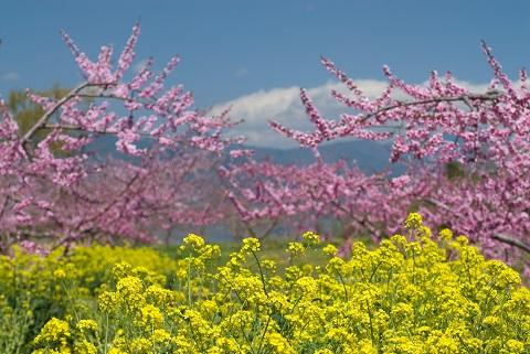 160313 菜の花と桃花