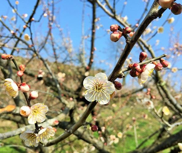 梅の開花2