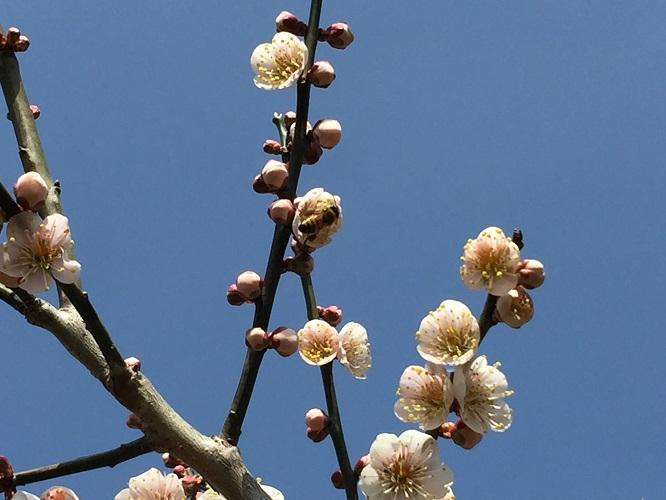 梅の開花5