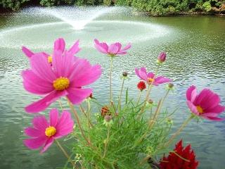 151106_3581池のほとりに咲くコスモスの花VGA