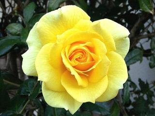 151111_3597ご近所の花壇に咲いた黄色い薔薇VGA
