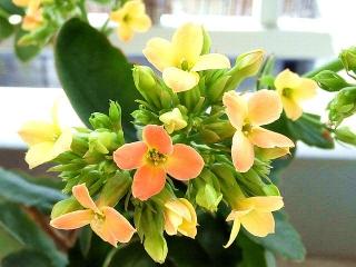 160218_3774今朝のカランコエの花(ミリオンスター)zoomVGA