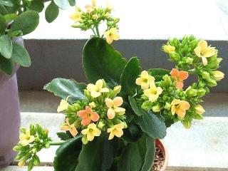 160221_3782今朝のカランコエの花VGA