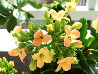 160228_3802今日のカランコエの花VGA