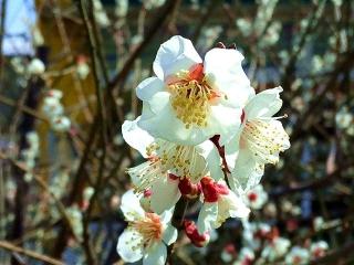 160301_3806通りすがりの櫻?の花VGA