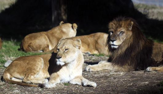 4ライオン