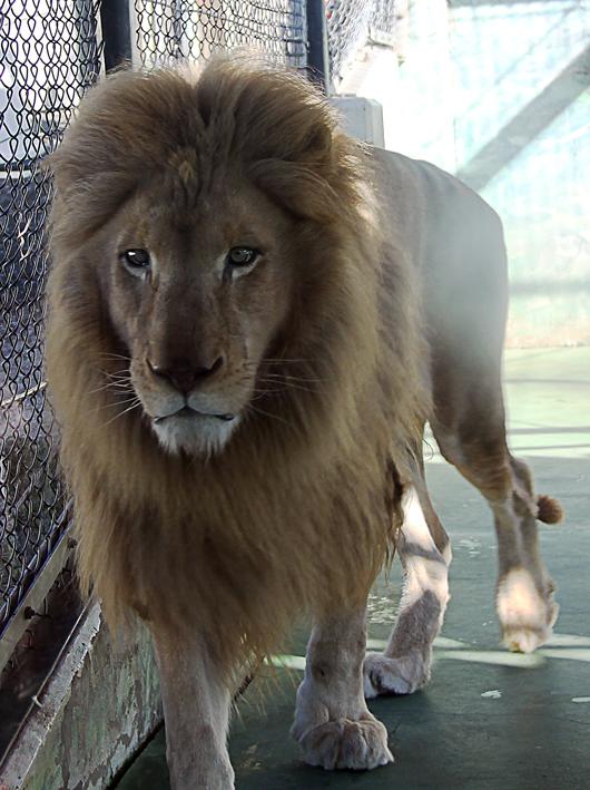 42ホワイトライオン