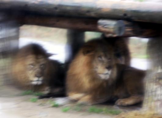 ライオンたちの雨宿り