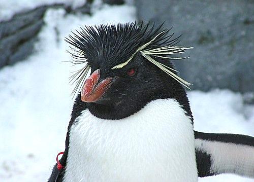 いわとびペンギン