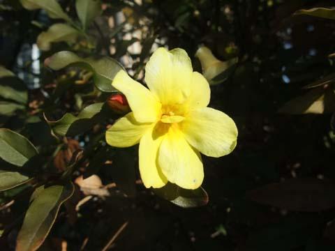 黄色い花2016 01 20.jpg