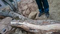 つめとぎようの木の幹