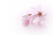 桜ダウンロード3537747 (1)