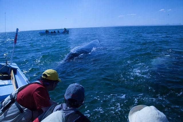 何頭ものクジラが近づき、キッス!!