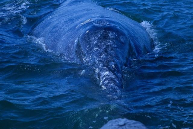 強大なクジラが我々に接近。目があった瞬間、塩っぽいキッス!