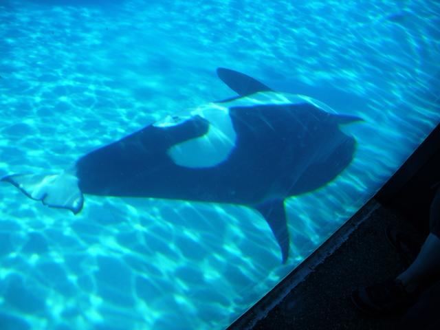 一日中通年、何の変化もない狭小な水槽で回遊するオルカ。高等動物はノイローゼになる。