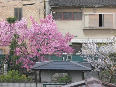 5 隣にみごとな桜、桜,サクラ・・・。