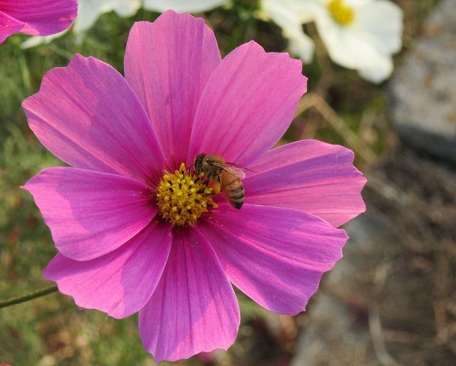 コスモスに蜜蜂 27.10.24