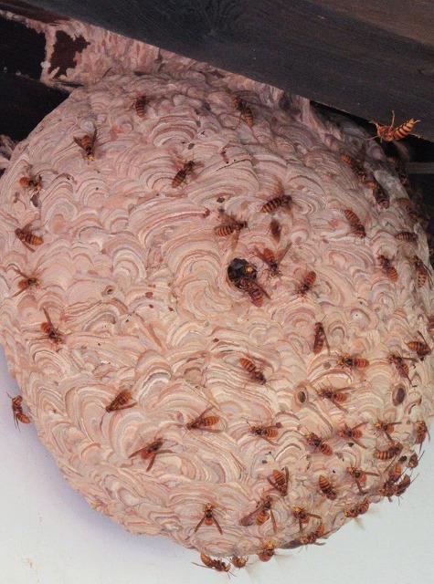 大きなスズメバチの巣 27.10.26