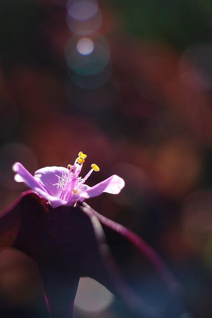 紫御殿 マクロボケ 27.10.29