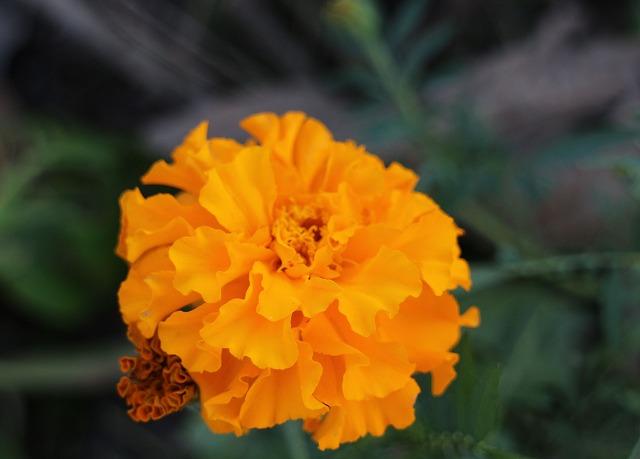 マリーゴールド八重花黄 27.10.30