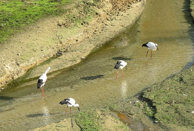 4羽コウノトリ池に 27.11.16