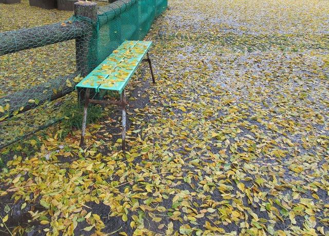 黄色い落ち葉が一杯 27.11.18
