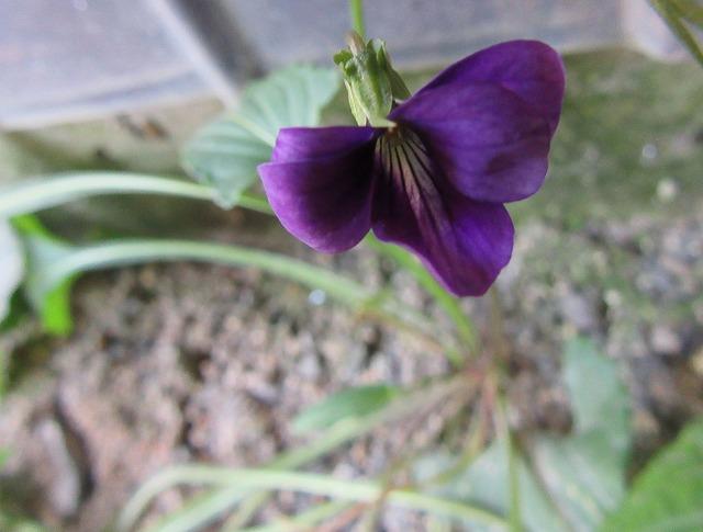 スミレの花 27.11.22