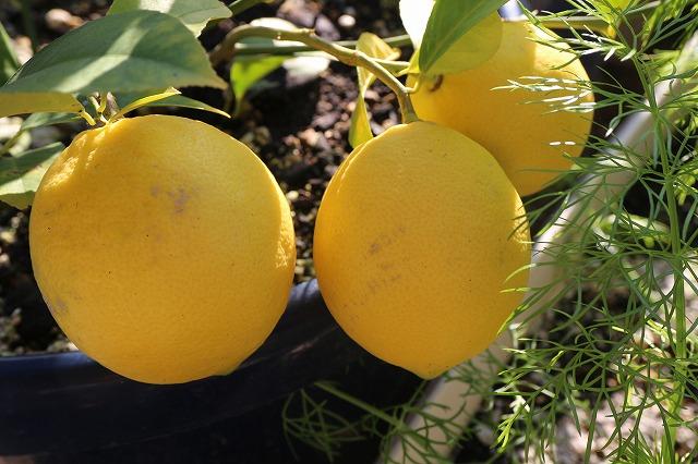植木鉢で育ててるレモン 27.11.25