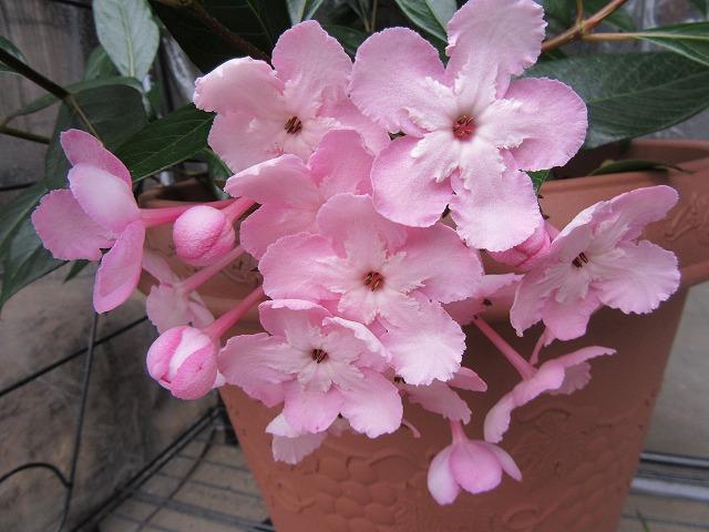 匂い桜 27.11.26