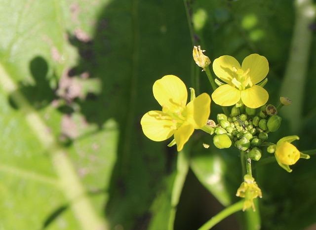 菜の花が咲いてる 27.12.2