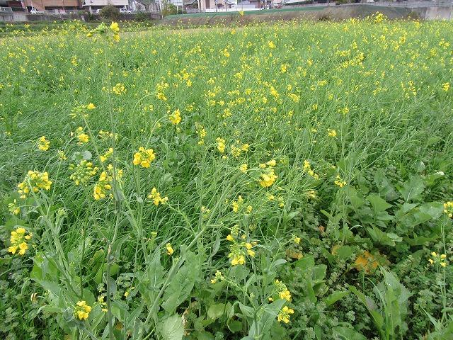 田んぼに菜の花 27.12.2