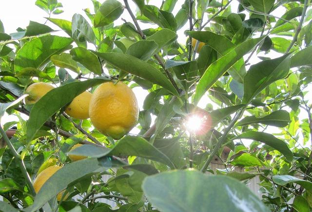 レモンと太陽 27.12.15