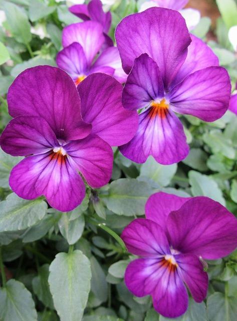 紫パンジーも 27.12.29
