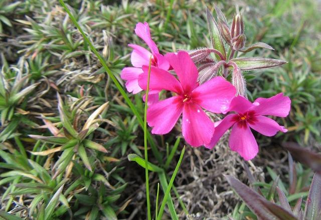 芝桜も 28.1.1
