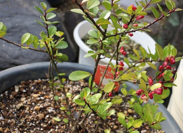 ハートの赤い実の生る木 28.1.5