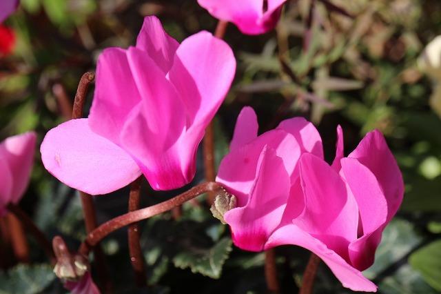シクラメン 綺麗に咲いて 28.1.16