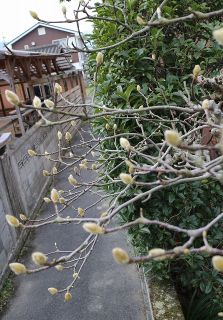 塀の上から木蓮の花芽 28.1.18