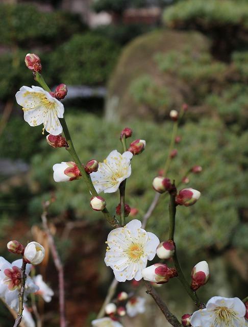 小さい白梅の木 28.1.19