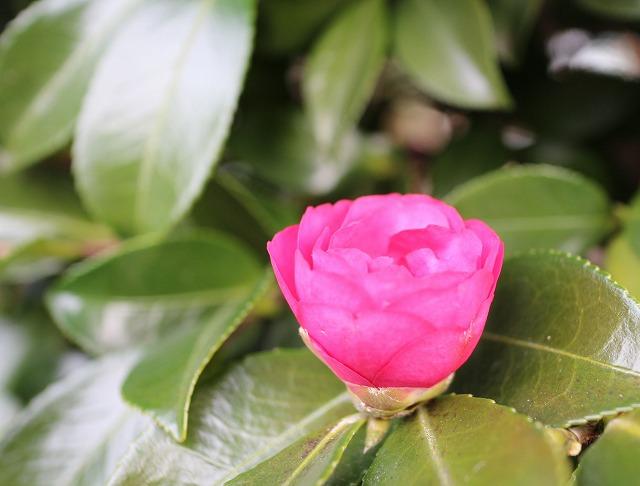 山茶花つぼみ 28.1.17