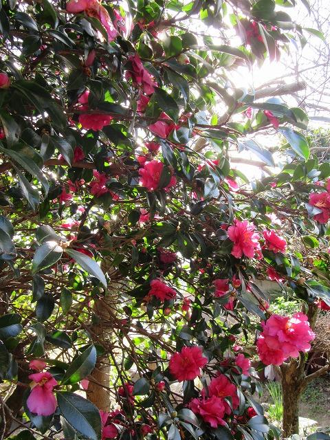 山茶花の木と花 28.1.3