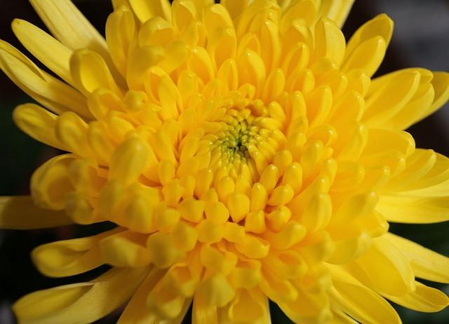 菊の花黄色戴き 28.1.27
