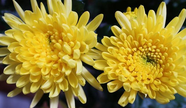 菊の花並んで 黄色 28.1.27