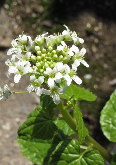 葉ワサビの花 28.2.20