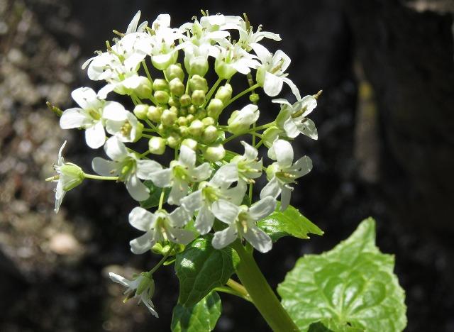 葉ワサビの花 横 28.2.20