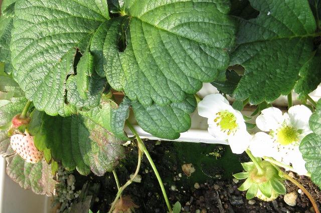 白苺の苗 28.2.25