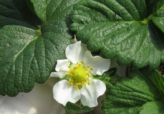 白苺の花 28.2.25