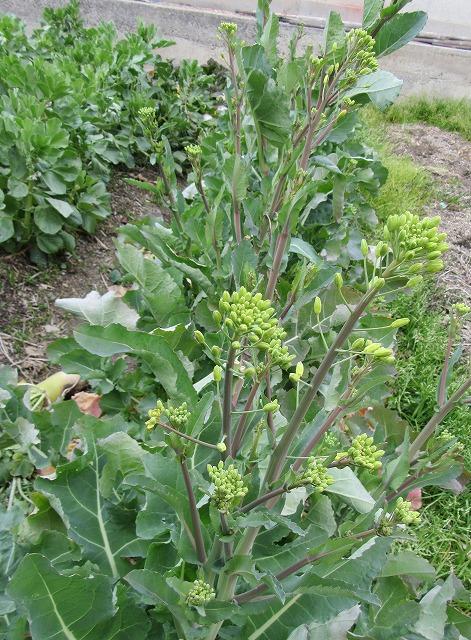 花を咲かせて種取する菜花 28.2.24
