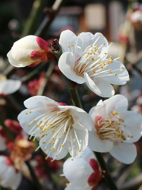庭の白梅 花もう終わり 28.2.27