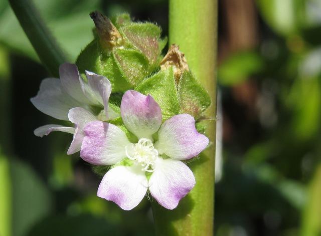 オカノリの花横 28.3.9